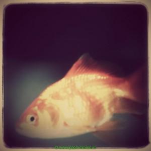 pesce_rosso-2